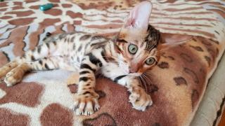 Bengal cat. Bengal kittens to buy. Zaporizhia