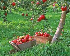 Обрізка саду в Чернігові та районі