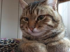 Піврічний котик, з паспортом, щепленнями