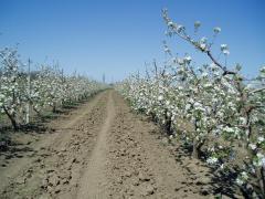 Плодоносний яблуневий сад у Криму