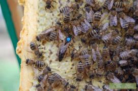 Продам бджоломатки Карпатки тип Вучківський