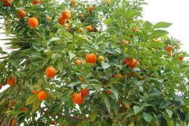 Продам мандариновий бізнес в Абхазії