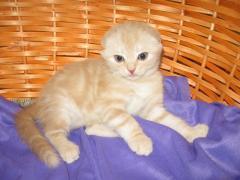 Продаж чистокровних шотландських кошенят