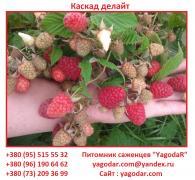Саджанці малини Каскад Делайт