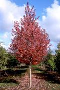 Щеплені дерева від виробника