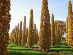 Великомірні дерева – парк за тиждень